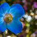 Himalayan blue poppy, Dalemain