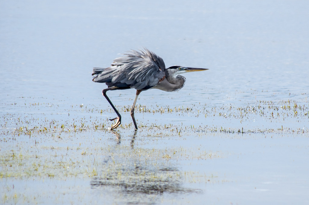 Great Blue Heron (chasing away her rival)