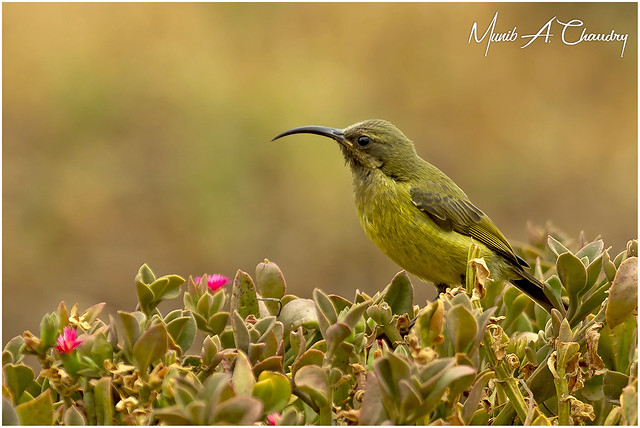 The female Sunbird!