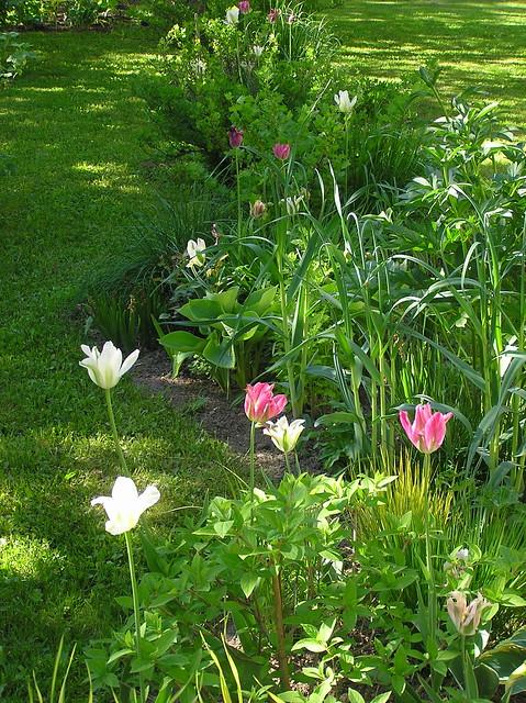 Viridaflora tulips in Garden Beds