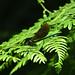 Male Beautiful Demoiselle at Warnham Nature Reserve