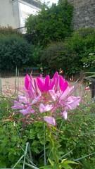 Fleur composée non identifiée bicolore