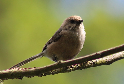 birdsofwashington bird washingtonbirds bushtit commonbushtit psaltriparusminimus