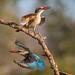 Grey-headed Kingfisher (© Jonathan Lewis)
