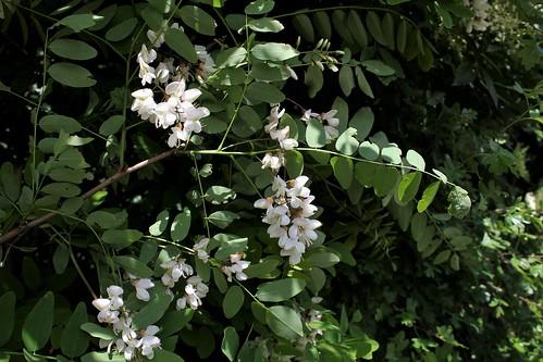 Robinia pseudoacacia - robinier faux acacia  28937934248_8d8325d2a2