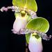 Paph. Pinocchio (Paph. glaucophyllum x Paph. primulinum)