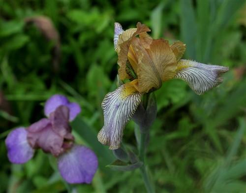 reginae - Iris variegata var. reginae (= Iris reginae) - Horvat 1947 40732947790_e153e00e97