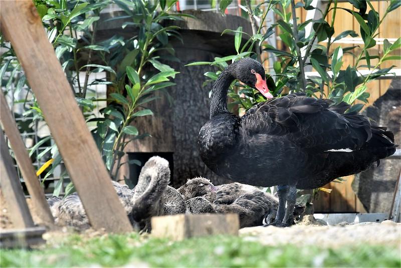 Black swan 10.06 (5)
