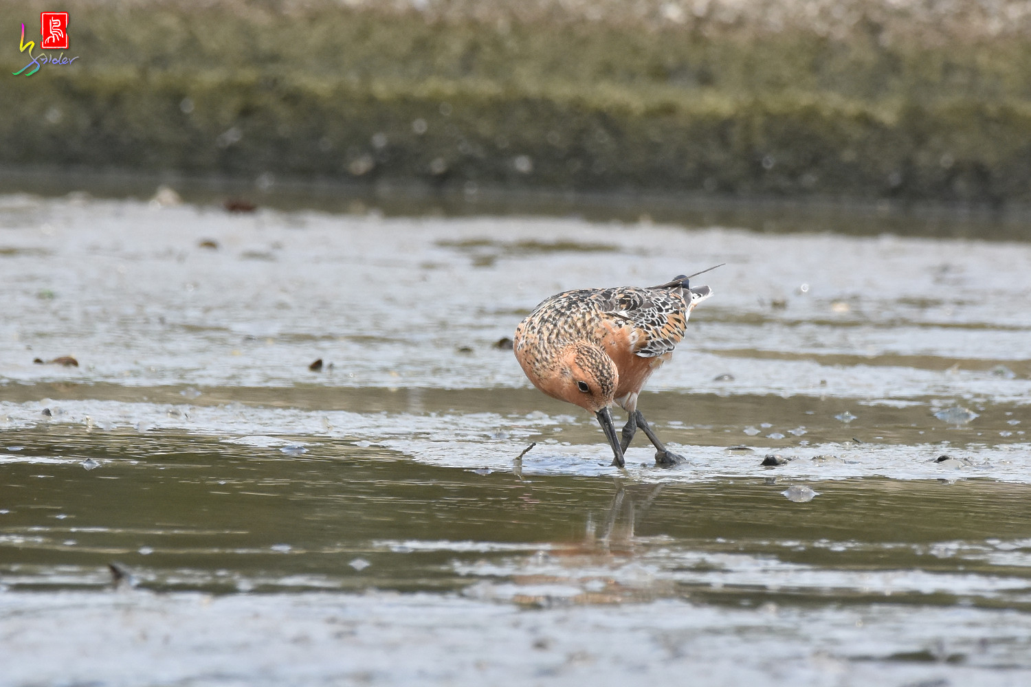 Red_Knot_1137
