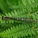 Female Azure Damselfly --- Coenagrion puella