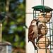 Sparrow Feeding by Jon Pinder