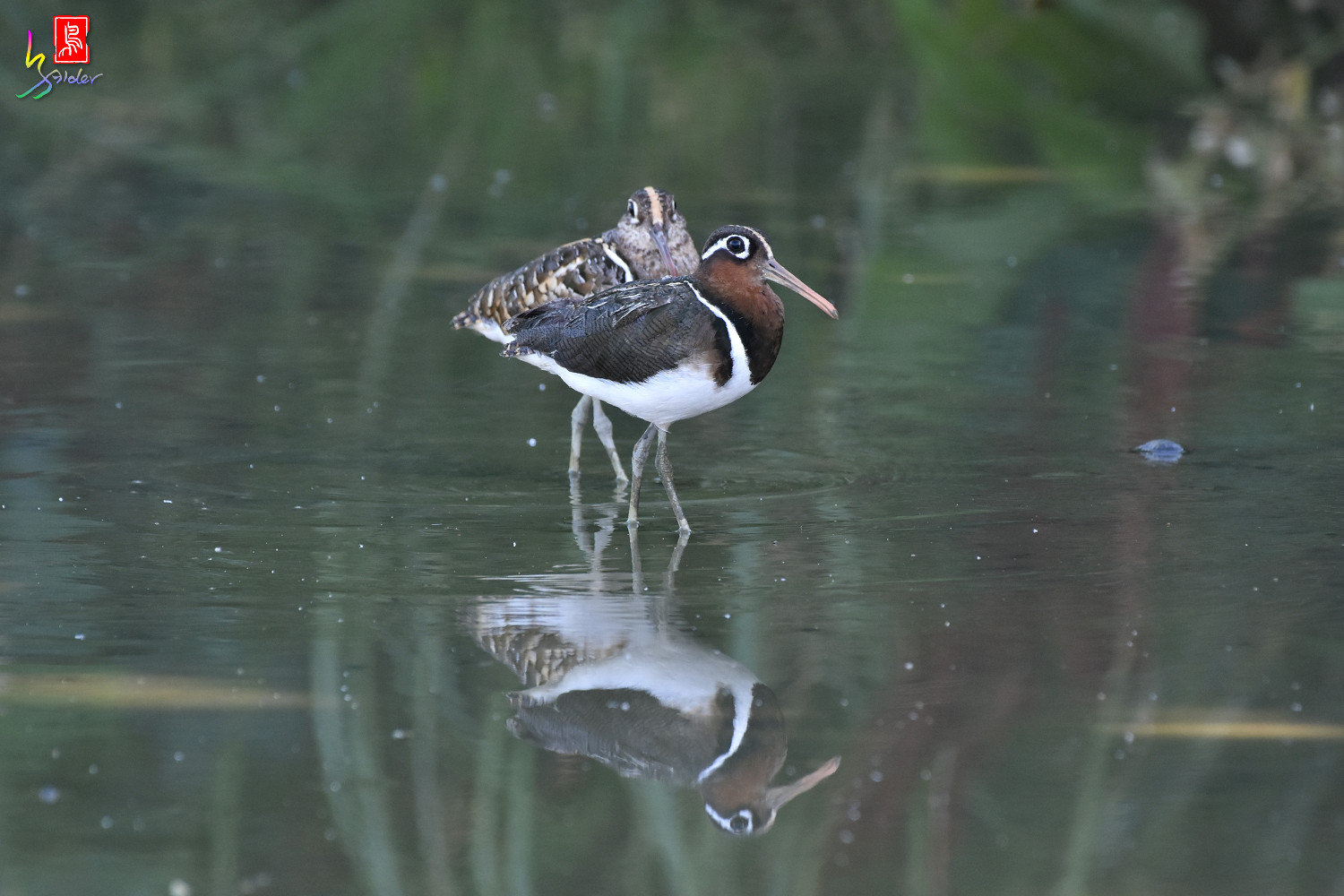 Painted_Snipe_8092