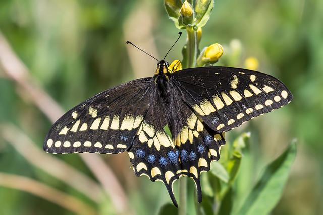 Swallowtail-24-7D2-052818