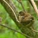 Wren fledglings