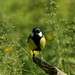 Great tit amidst the grass