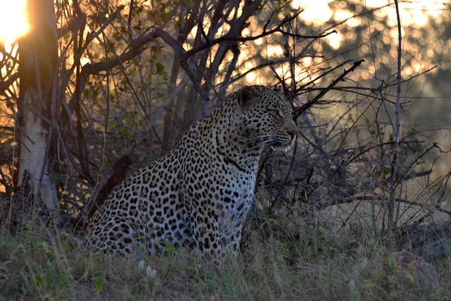 Leopard, Nikon D3100, AF-S Nikkor 28-300mm f/3.5-5.6G ED VR