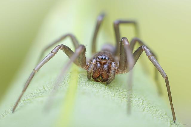 Corinnidae