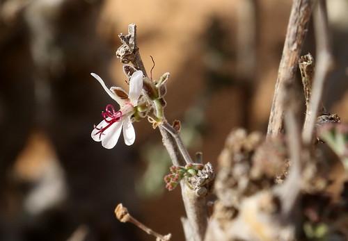 Most likely P. carnosum subsp. ferulaceum.