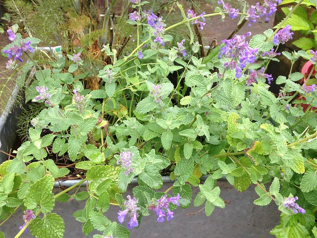 Attract butterflies: Catmint