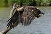 Bald Eagle - Haliaeetus leucocephalus by Mark Millsap