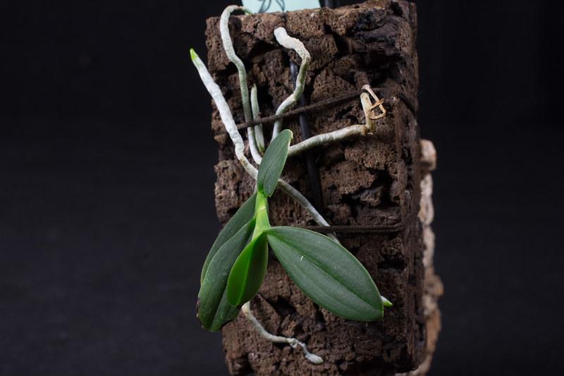 Orchideen-Neuzugang 2 - Seite 3 42501988492_e0b6f09a77_c
