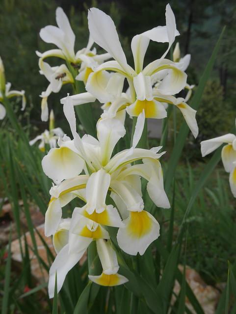 Iris orientalis (= Iris spuria ssp. ochroleuca) - Page 2 42510958832_31c04d04ae_z
