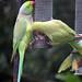 Parakeet (86) Taken through Caravan Window
