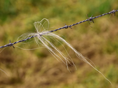 Hair on barbed wire