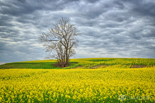 landscape canola yellow utica farm rural hill sutherland field