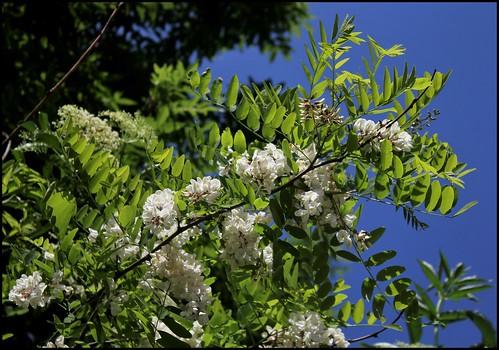 Robinia pseudoacacia - robinier faux acacia  42811225611_4308ba1983