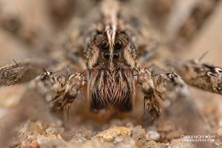 Wandering spider (Ctenidae) - DSC_2228