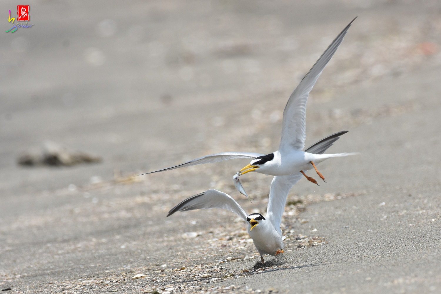 Little_Tern_8820