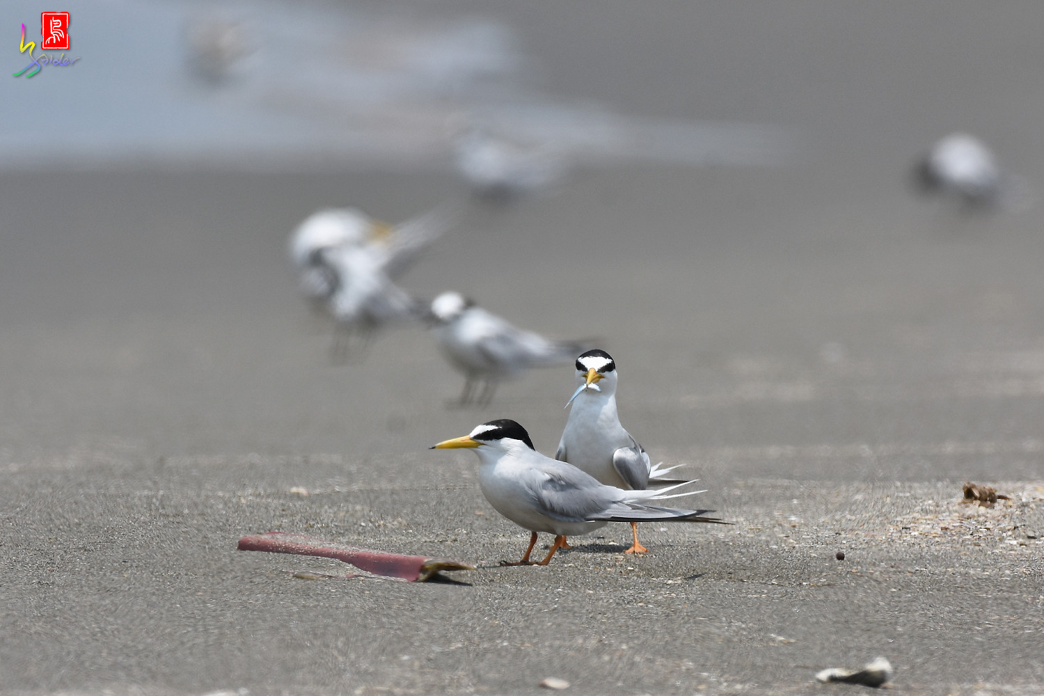 Little_Tern_8550