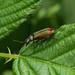 Common Malachite Beetle --- Malachius bipustulatus