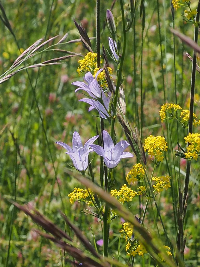 Campanula rapunculus and Galium verum