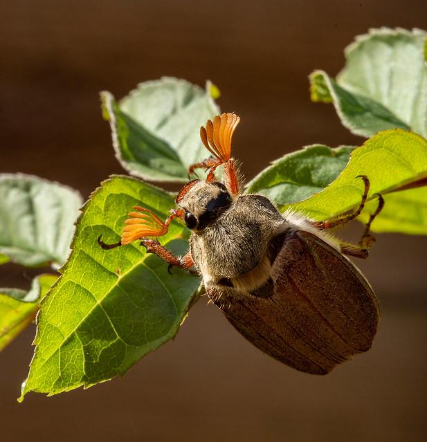 Cockchafer Beetle, Canon EOS 5D MARK III, Sigma 105mm f/2.8 Macro EX