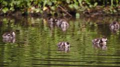 Egyptian goslings