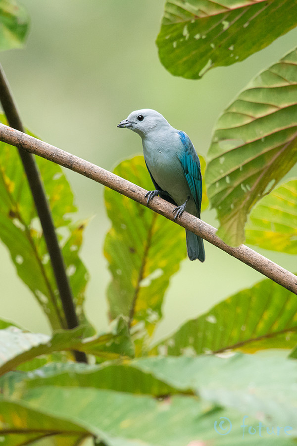 Sinihall, Tangara, Thraupis, episcopus, Blue, grey, Tanager, gray, Kaido Rummel, Parque, Nacional, Los, Quetzales, Costa Rica