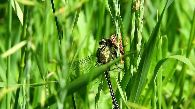 Cobra Clubtail/Meadow Fritillary.mp4