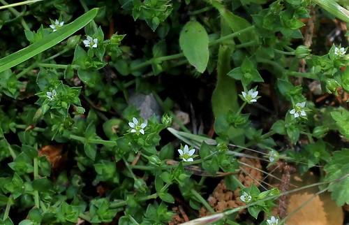 Arenaria serpyllifolia - sabline à feuille de serpollet 28736226188_63856163aa