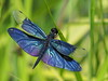 Photo:Rhyothemis fuliginosa flutterer dragonfly (チョウトンボ) By Greg Peterson in Japan