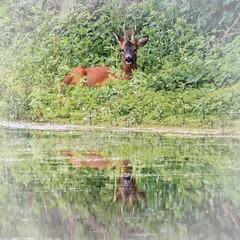 HolderRoe Deer at Potteric Carr
