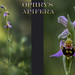 Ophrys Apifera. by coach48