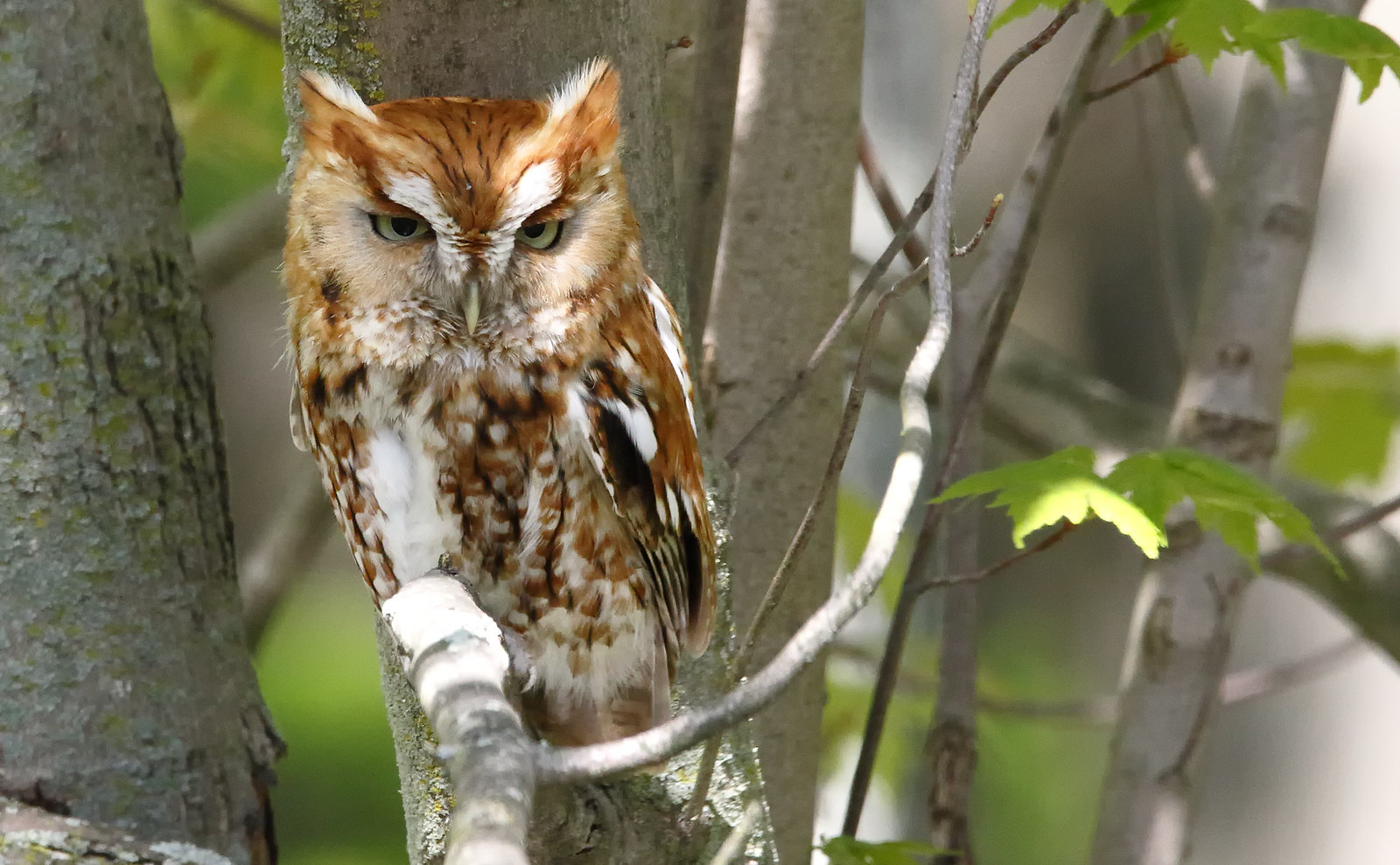 Eastern Screech Owl [red phase]