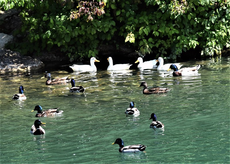 Ducks 18.06 (14)