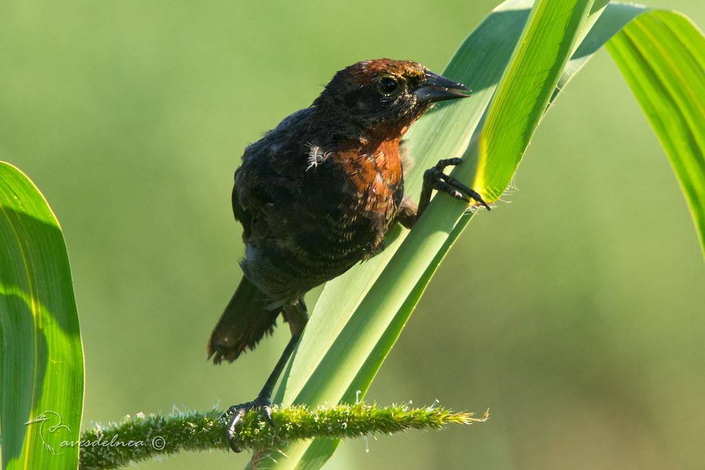 Varillero congo (Chestnut-capped Blackbird) Chrysomus ruficapillus