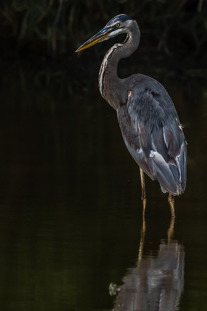 Big Blue Heron Explored, Nikon D500, Sigma 150-600mm F5-6.3 DG OS HSM | S