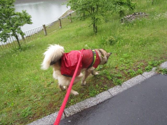 雨の日に散歩をする犬