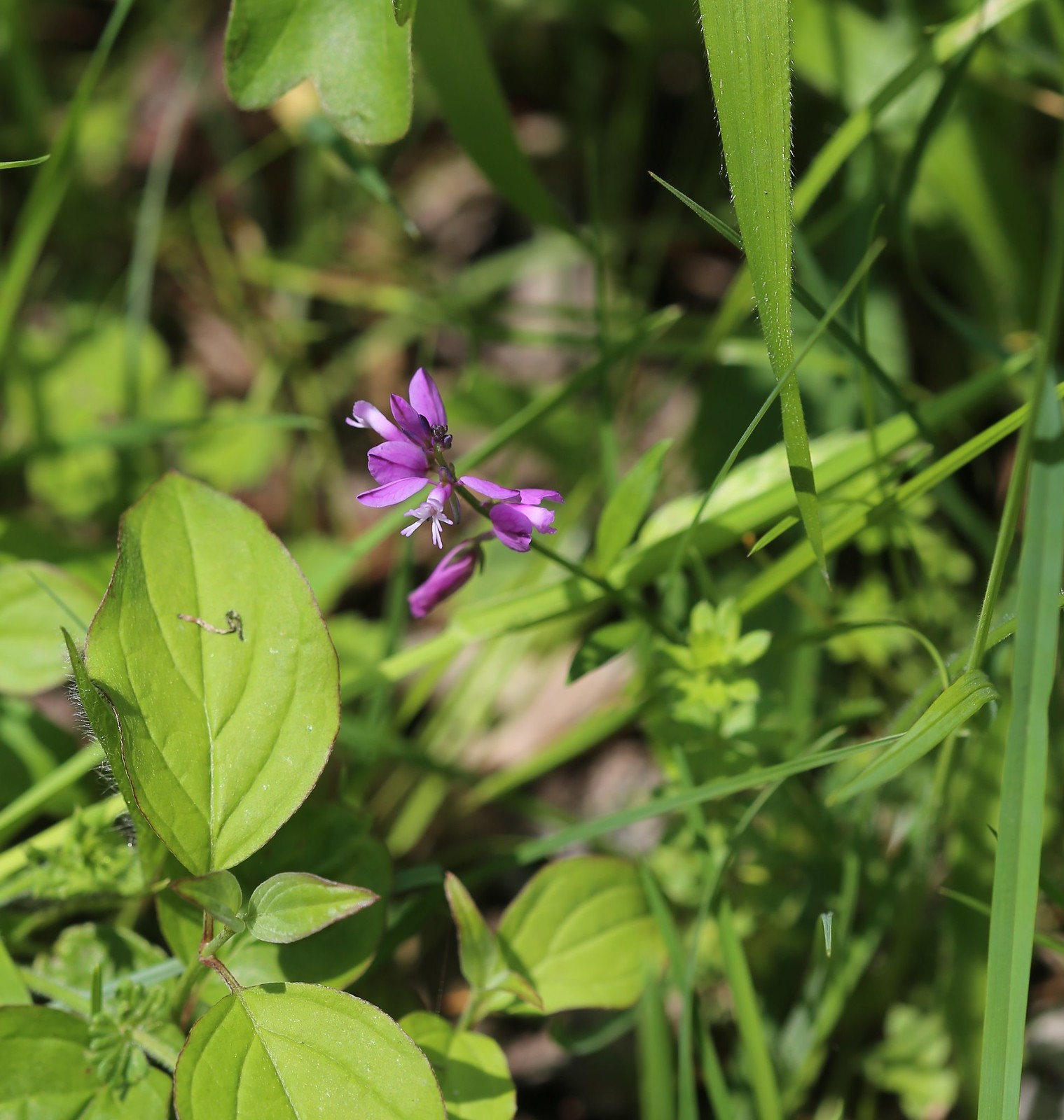 Milkwort - Otford to Eynsford Walk
