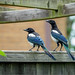 Young magpies